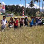 Bupati VAP Panen Perdana Padi Sawah di lokasi CSB Kodim 1310/Bitung Desa Paslaten